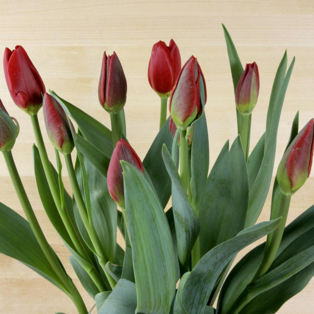 Tulipanes de Vinyols